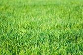 Yeşil çim çimen arka plan — Stok fotoğraf