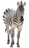 Male zebra isolated on white background — Stock Photo