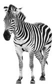 Male zebra isolated on white background — Stock Photo
