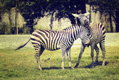 Vintage style two zebra playing at a zoo — Stock Photo