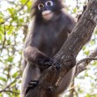 Dusky langur monkey — Stock Photo