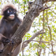 Stock Photo: Dusky langur monkey