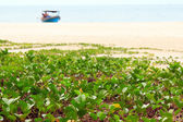 Ipomoea pes-caprae sweet on a beach — Stock Photo