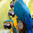 Blue yellow parrot macaw — Stock Photo