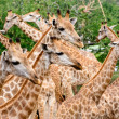 Giraffe herd — Stock Photo