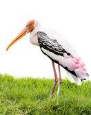 白い背景で隔離の塗られたこうのとり鳥 — ストック写真