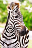 Cute burchell zebra from a safari — Stock Photo