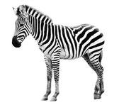 Young male zebra isolated on white background — Stock Photo