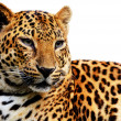 Leopard — Stock Photo #36651975
