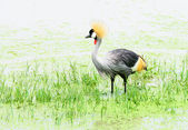 Grey crown crane in a swamp — Stock Photo