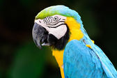 Blue parrot macaw — Stock Photo