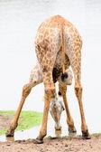 Funny giraffe drinking water from a lake — Stockfoto