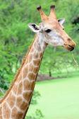 Giraffe long neck — Stock Photo