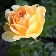 Photo: Rose and water drops