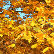 Autumn maple tree — Stock Photo #13963332