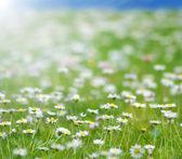 デイジーの花のフィールド — ストック写真