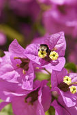 Bumblebee on crimson flower — Stock Photo