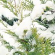 Snow falling on a pine tree branch — Stock Video