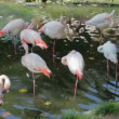 Beautiful American Flamingos (Phoenicopterus roseus) in ZOO — Stock Video