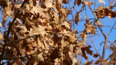 Autumn wind in oak tree — Stock Video