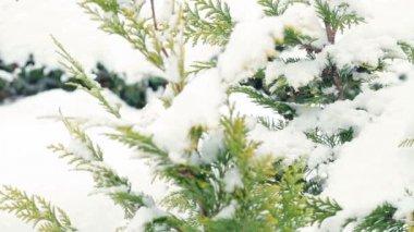 Sníh padá na větev stromu borovice — Stock video