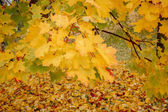 Detail of maple tree in park in autumn — Foto Stock