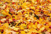 Fall orange and red autumn leaves on ground — Fotografia Stock