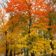Maple tree in park in autumn — Stock Photo