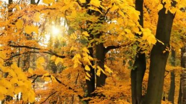 Autumn colors on maple tree falling leaf and sun — Stock Video