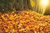 Herfst kleuren met zon licht in park — Stockfoto