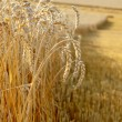 Gold grains field in summer time — Stock Photo