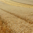 Stock Photo: Partially harvested wheat field