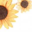 Two sunflower decoration white background — Stock Photo