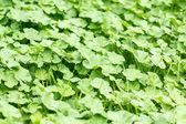 Groene bladeren textuur voor achtergrond gebruik — Stockfoto