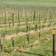 Spring Vineyard — Stock Photo