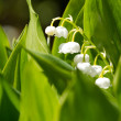Blooming Lily of the valley in spring garden — Foto de Stock