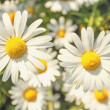 Daisy flower field with shallow focus — Foto Stock