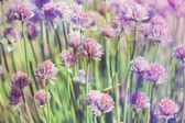 Chive herb flowers on beautiful bokeh background pastel colors — Stock Photo