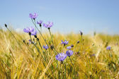 Blue cornflowers in the wheat field — Stock Photo