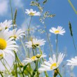 Daisy flower field — Stock Photo #27334711