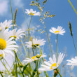 Daisy flower field — Stock Photo