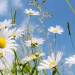 Daisy flower field — Stock Photo #27334711