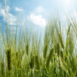 Spring grain with blue sky and sunligt — Stock Photo