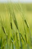 Biologische groene lente korrels met ondiepe focus — Stockfoto
