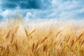Golden wheat field with dramatic storm clouds — Stock Photo