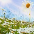 Daisy flower field against blue sky — Stock Photo #31521637