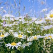 Daisy flower field — Foto Stock