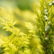 Conifer with shallow focus for background — Stock Photo