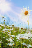 Daisy flower field against blue sky — Stock Photo