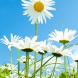 Daisy flower field against blue sky — Stock Photo #31561621